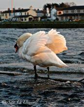 Swan, Sita O'Driscoll, Spanish Arch, Claddagh, Galway, Ireland, Photographer